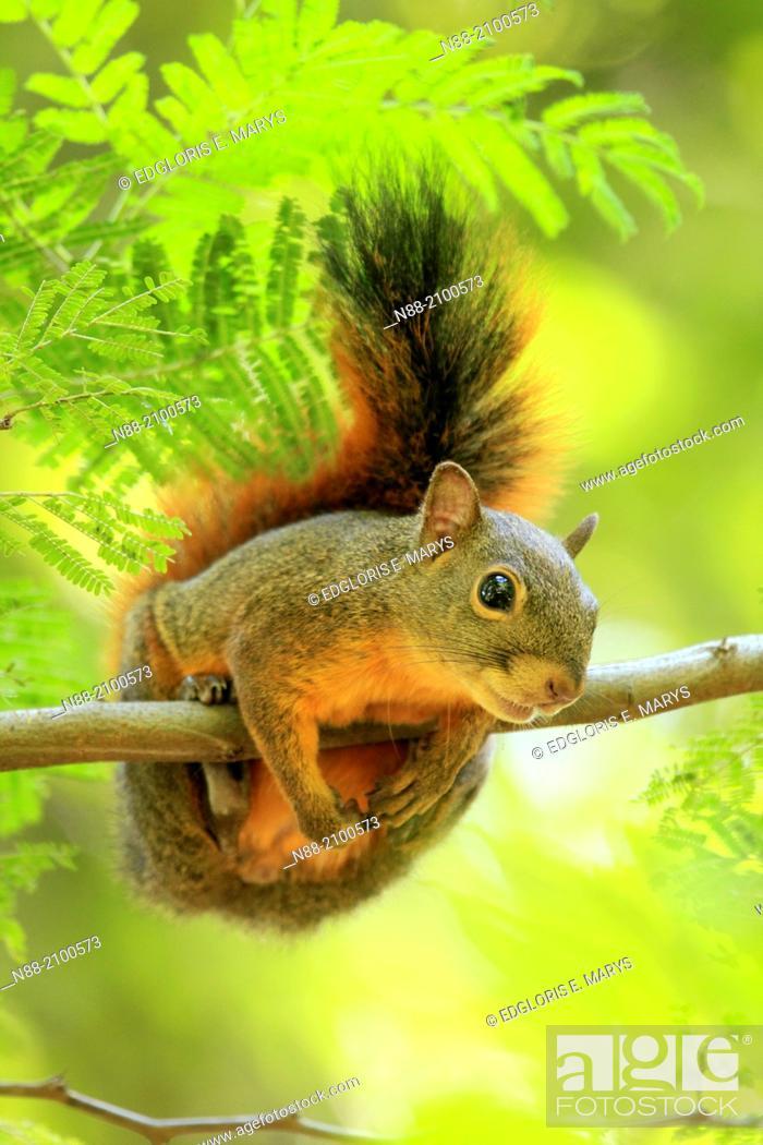 Stock Photo: Squirrel Caracas Venezuela.