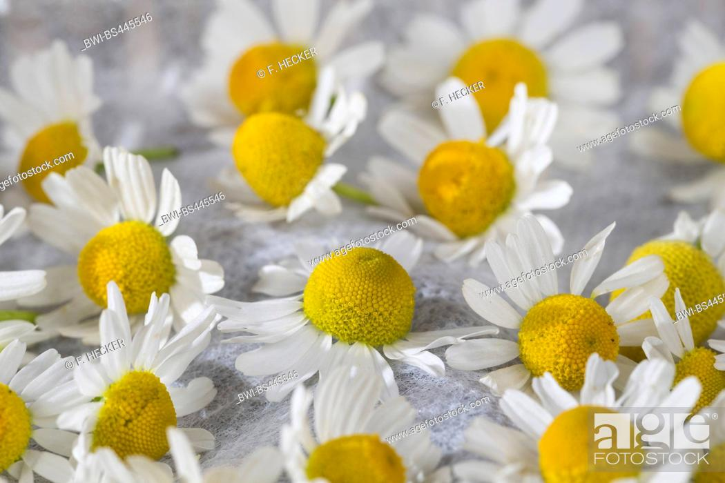 Photo de stock: scented mayweed, german chamomile, german mayweed (Matricaria chamomilla, Matricaria recutita), flowers are dried, Germany.