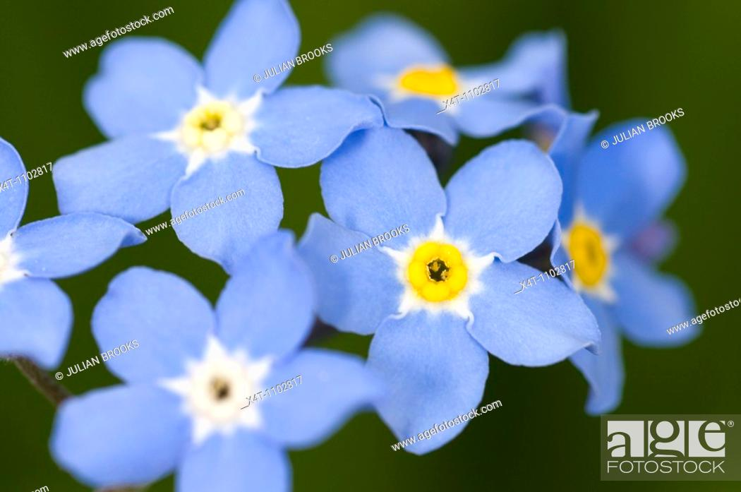 Stock Photo: Close up of forget-me-not flowers Myosotis spp.