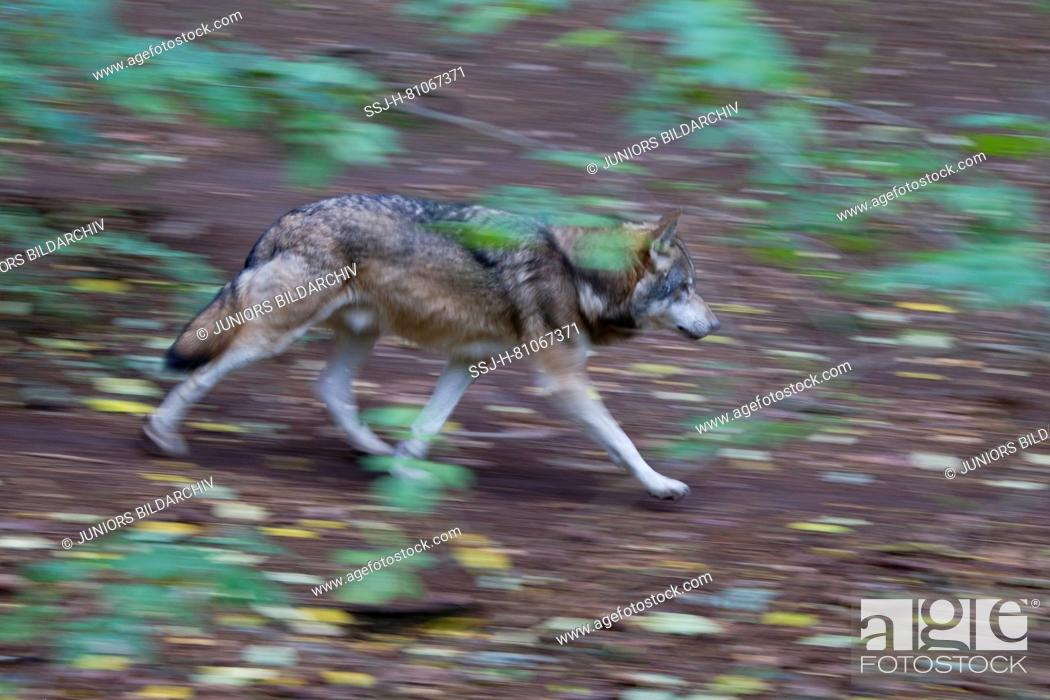 Imagen: European Wolf (Canis lupus). Adult in a forest in autumn, fleeing. Germany.