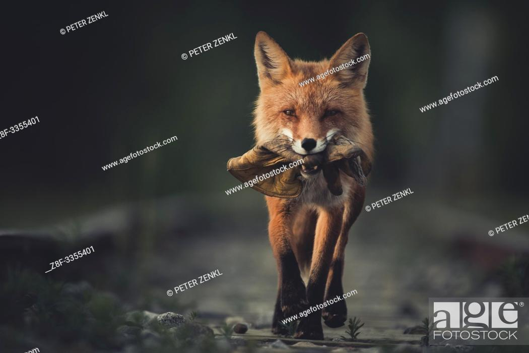 Stock Photo: A red fox (Vulpus vulpus) runs proudly with a leather glove in his mouth. Yukon Territory, Canada.