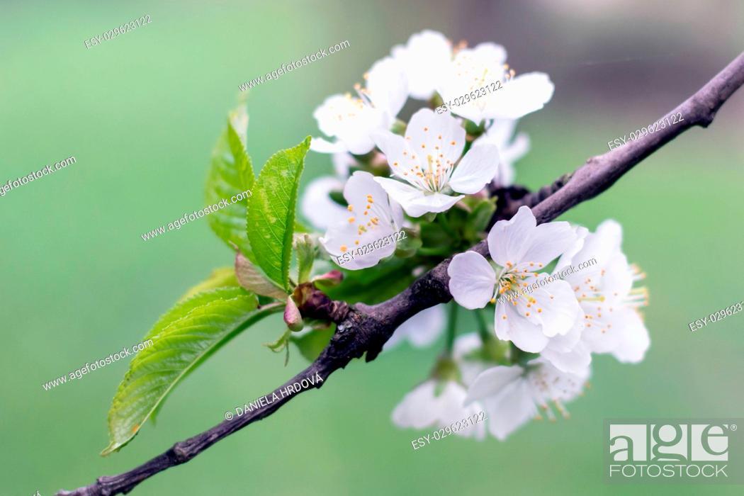 Stock Photo: Blossoming tree – cherry.