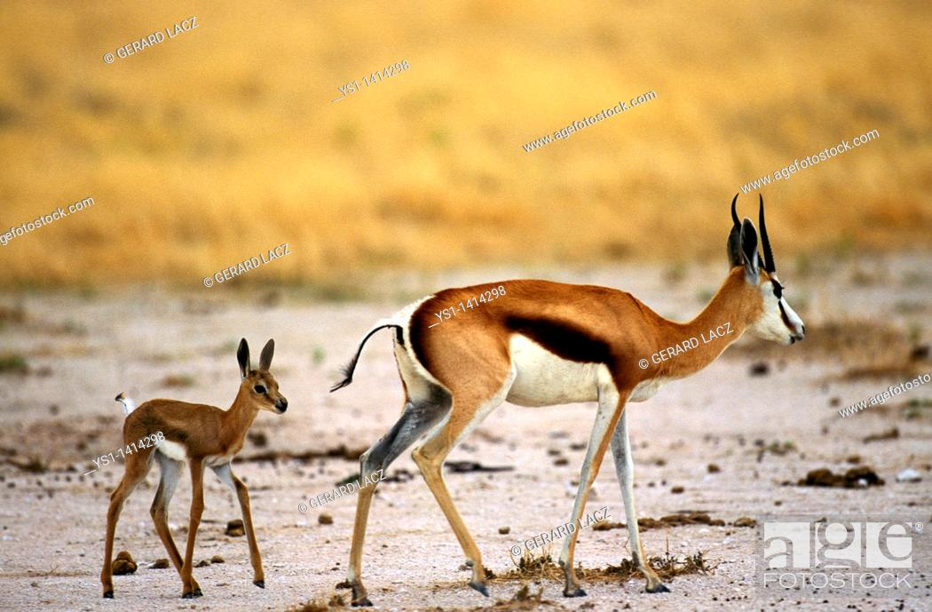 Stock Photo: SPRINGBOK antidorcas marsupialis, FEMALE WITH YOUNG.