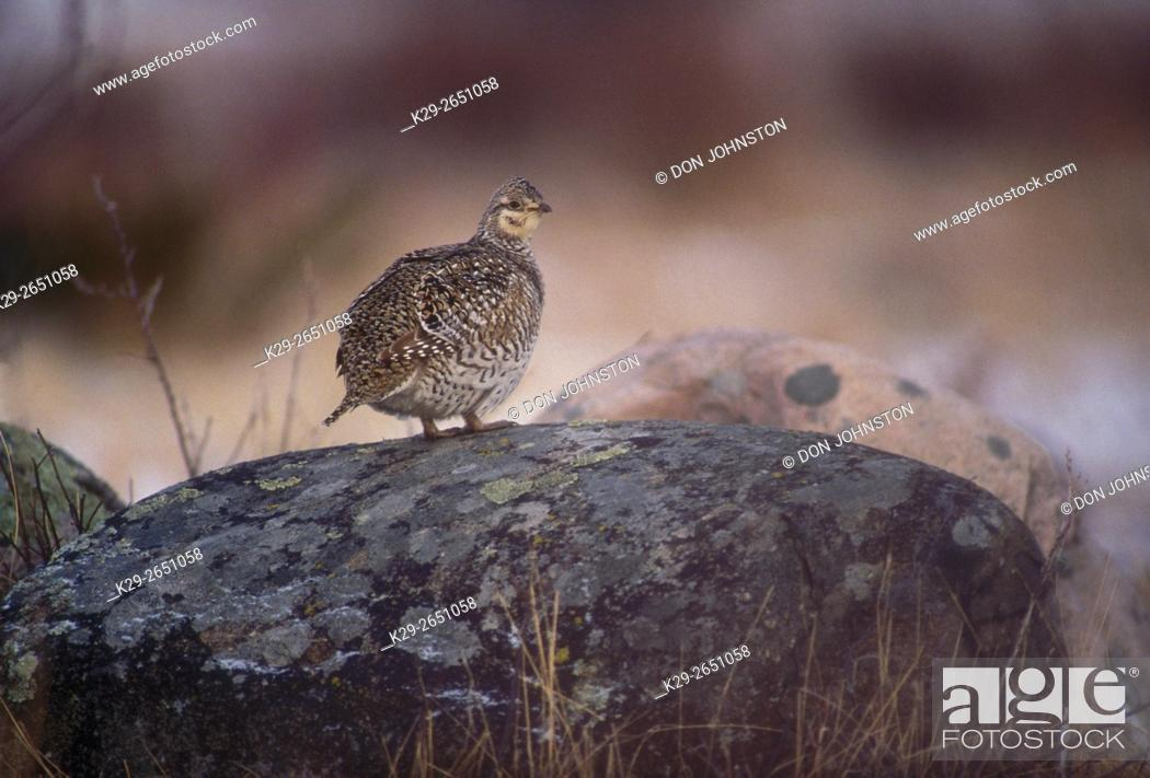 Stock Photo: Sharp-tailed grouse (Pedioecetes phasianellus) Female in rock in courtship site in early spring, Gore Bay, Manitoulin Island, Ontario, Canada.