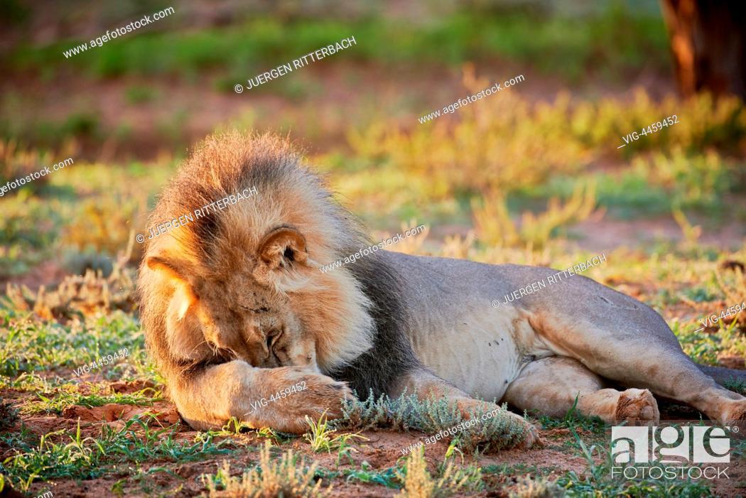Stock Photo: male lion (Panthera leo) Kgalagadi Transfrontier Park, Kalahari, South Africa, Botswana, Africa - Kgalagadi Transfrontier Park, South Africa, Botswana.
