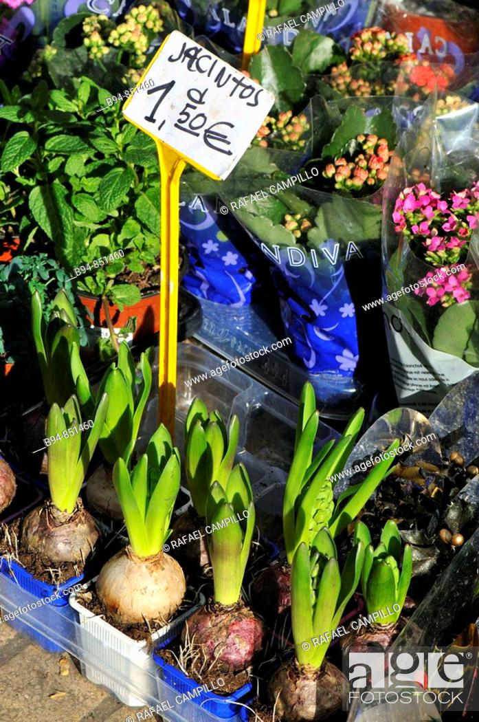 Stock Photo: Hyacinth bulbs. Rambla, Barcelona, Catalonia, Spain.