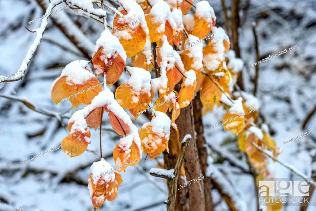 Imagen: Dogwood Leaves Highlighted with Snow Yosemite National Park CA USA World.