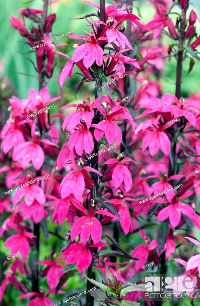 Lobelia Speciosa Fan Deep Rose Stock Photo Picture And Rights