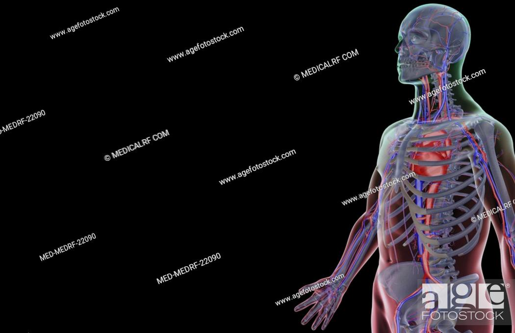 Stock Photo: The blood supply of the upper body.