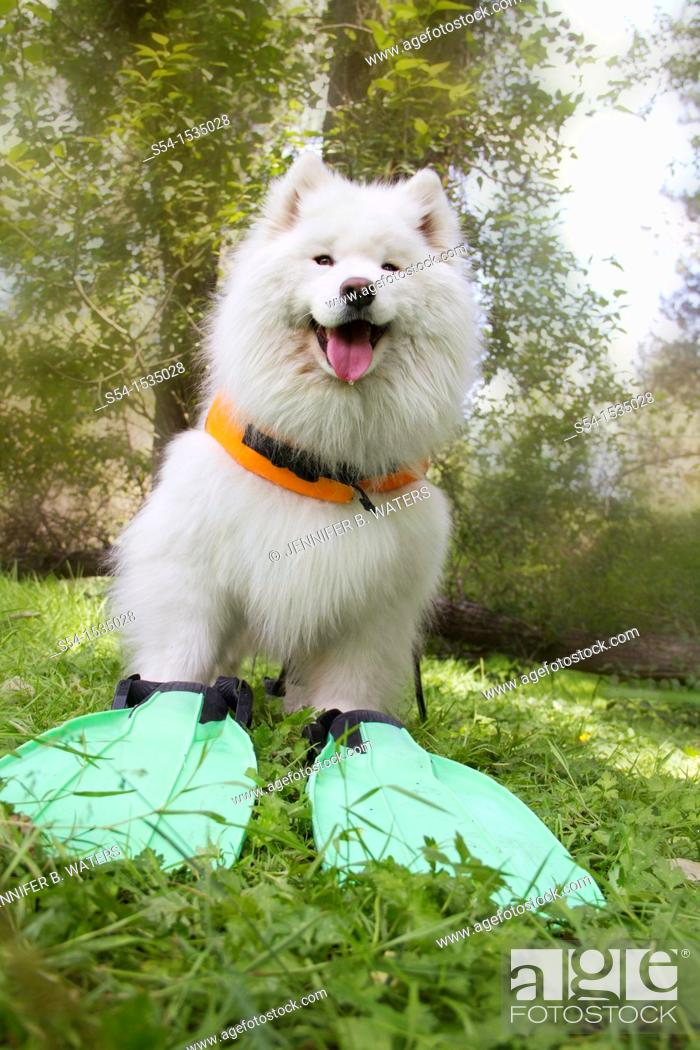 Stock Photo: A female Samoyed dog outdoors in Spokane, Washington, USA.