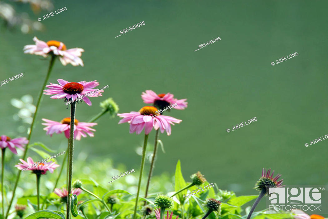 Stock Photo: Sun-kissed, pink daisy plants on the shore of a pond.