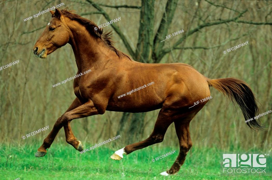 Stock Photo: Kisberer horse - galloping on meadow.