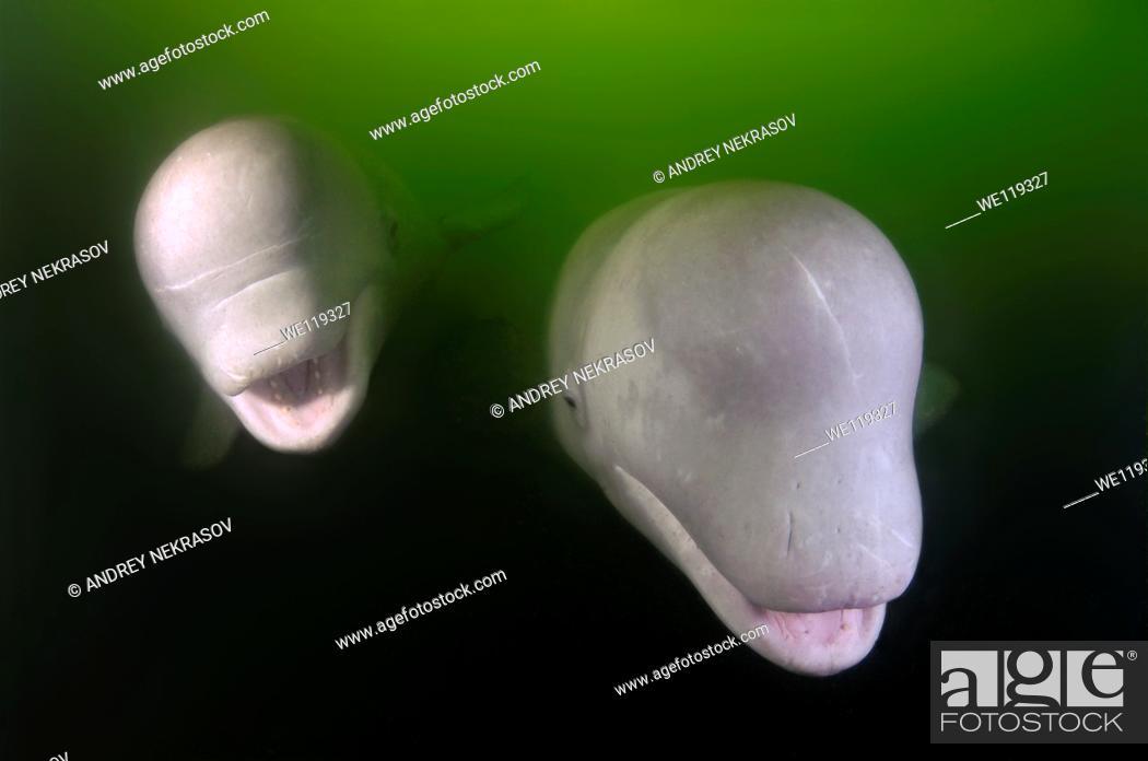 Stock Photo: Beluga whale Delphinapterus leucas Japan sea, Far East, Primorsky Krai, Russian Federation.
