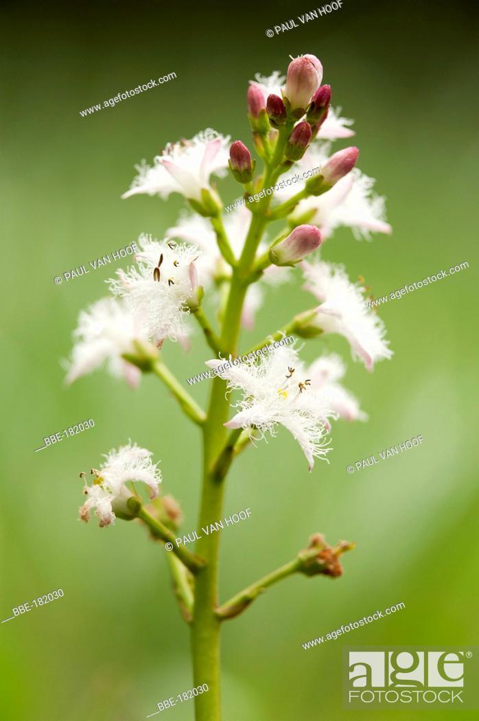 Stock Photo: Flower of Bogbean.