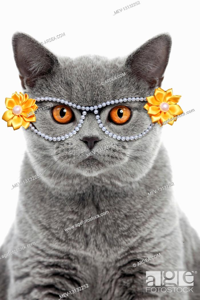Stock Photo: Blue British Shorthair Cat, 6 months old wearing glasses.