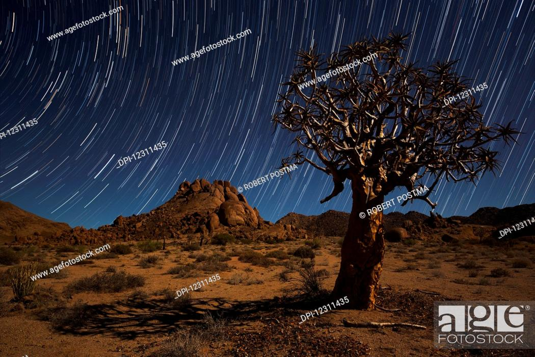 Stock Photo: Star trails above a quiver tree (kokerboom or aloe dichotoma) in Richtersveld National Park; South Africa.