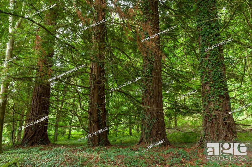 Stock Photo: Dunster Forest is one of the oldest forest in Exmoor.