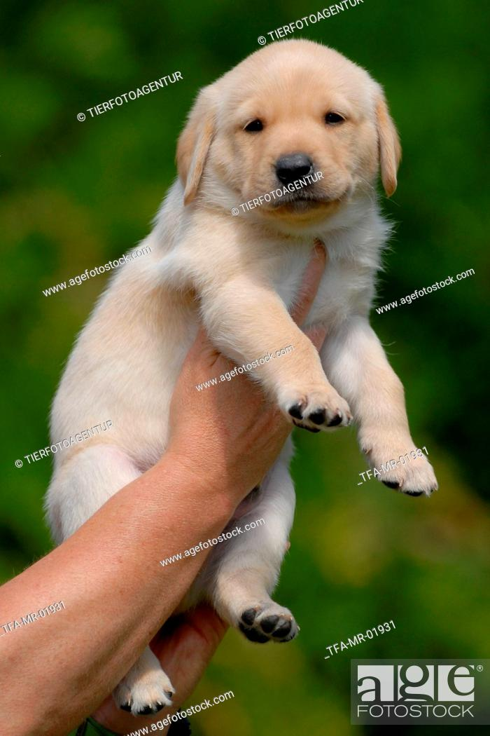 Blonde Labrador Puppy Stock Photo