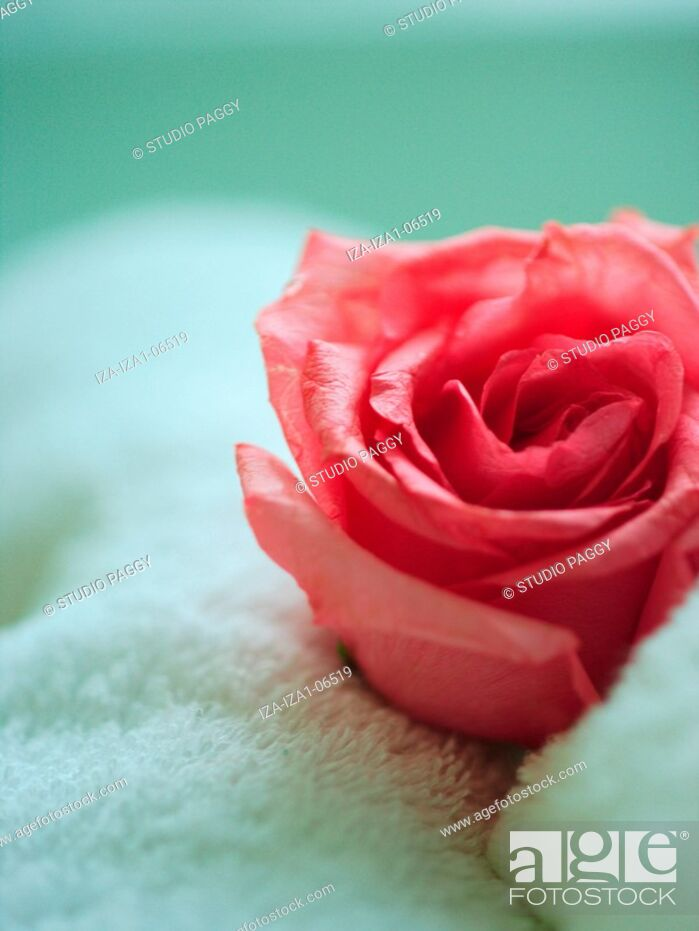 Stock Photo: Close-up of a rose flower on a towel.
