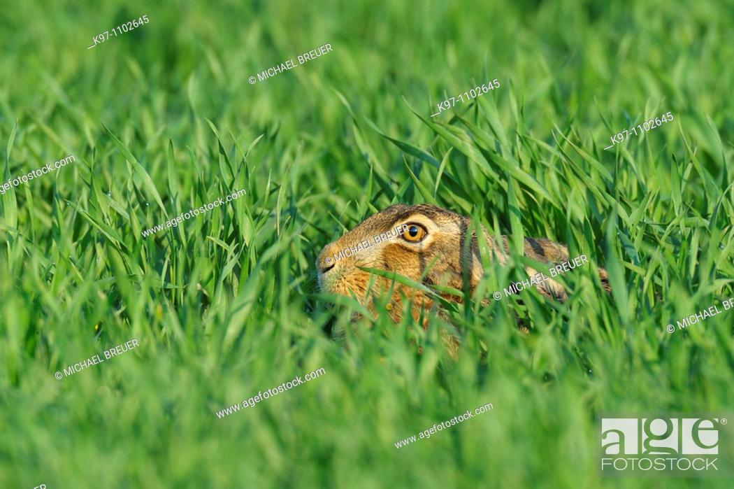 Stock Photo: European brown hare, Lepus europaeus, Germany.