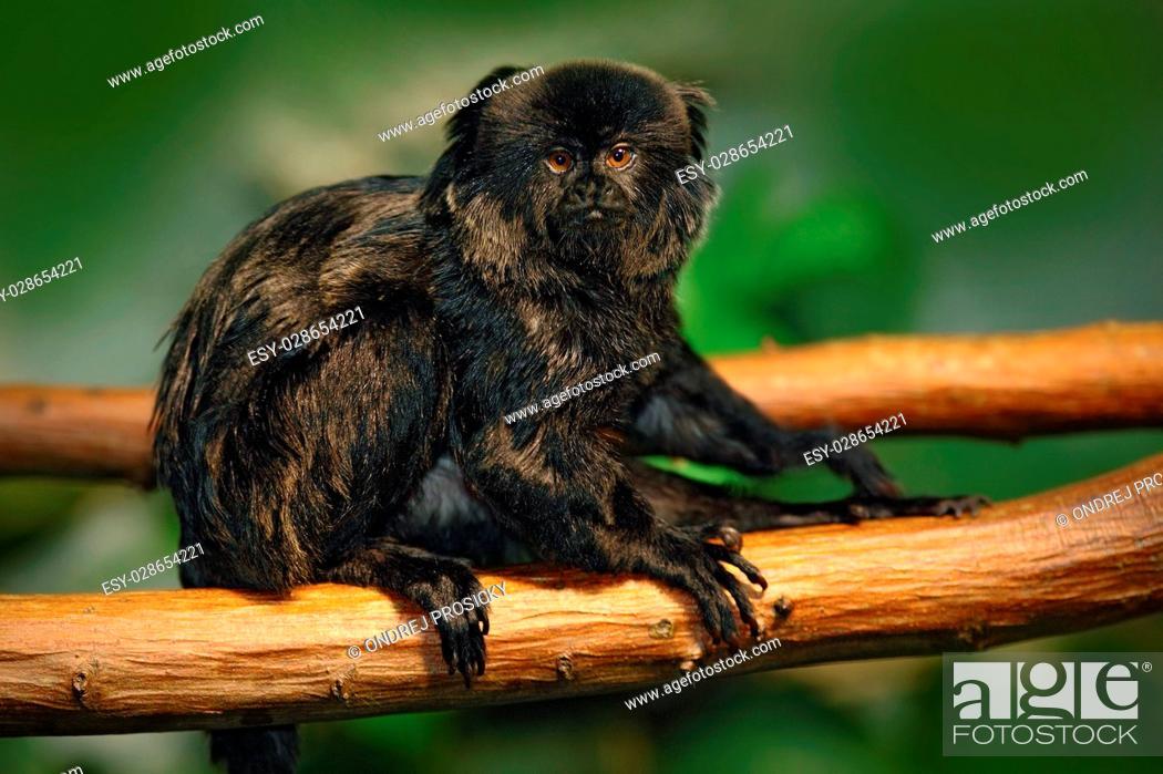 Stock Photo: Goeldi's Marmoset or Goeldi's Monkey, Callimico goeldii.