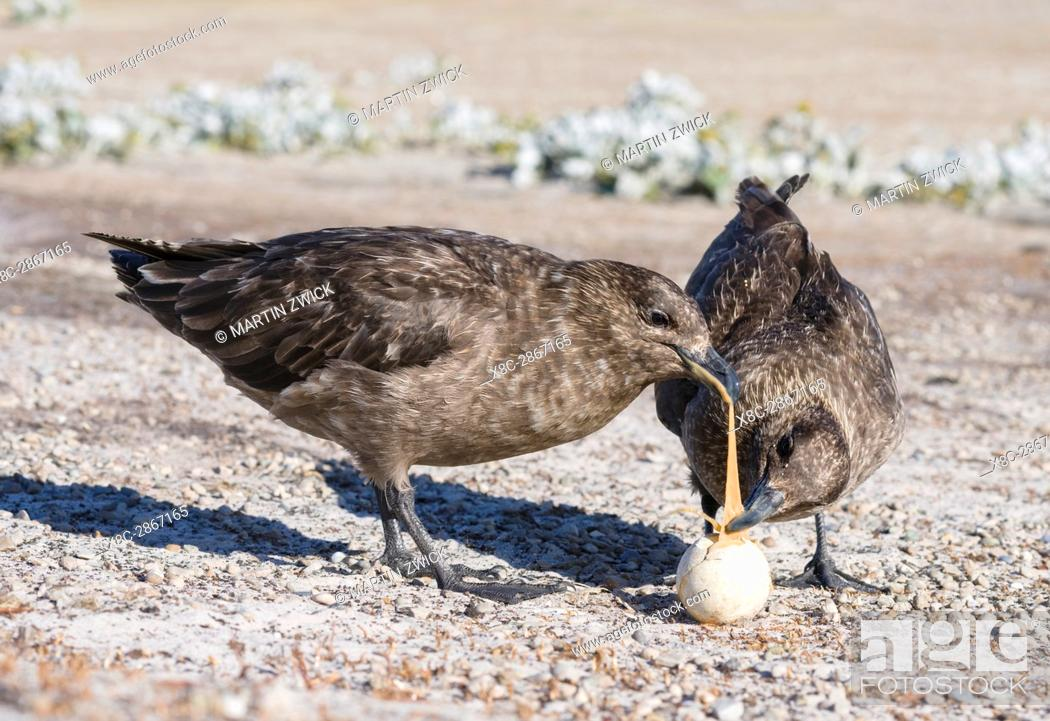 Stock Photo: Falkland Skua or Brown Skua (Stercorarius antarcticus, exact taxonomy is under dispute), feeding on an egg of a Gentoo Penguin.
