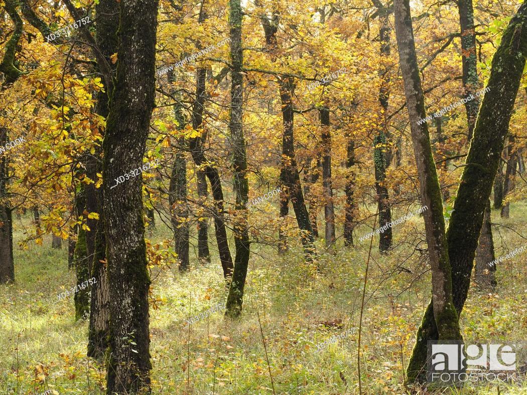 Stock Photo: Pendunculate Oak, Quercus robur, grove in autumn west of Tournon dâ. . Agenais, Lot-et-Garonne Department, Nouvelle Aquitaine, France.