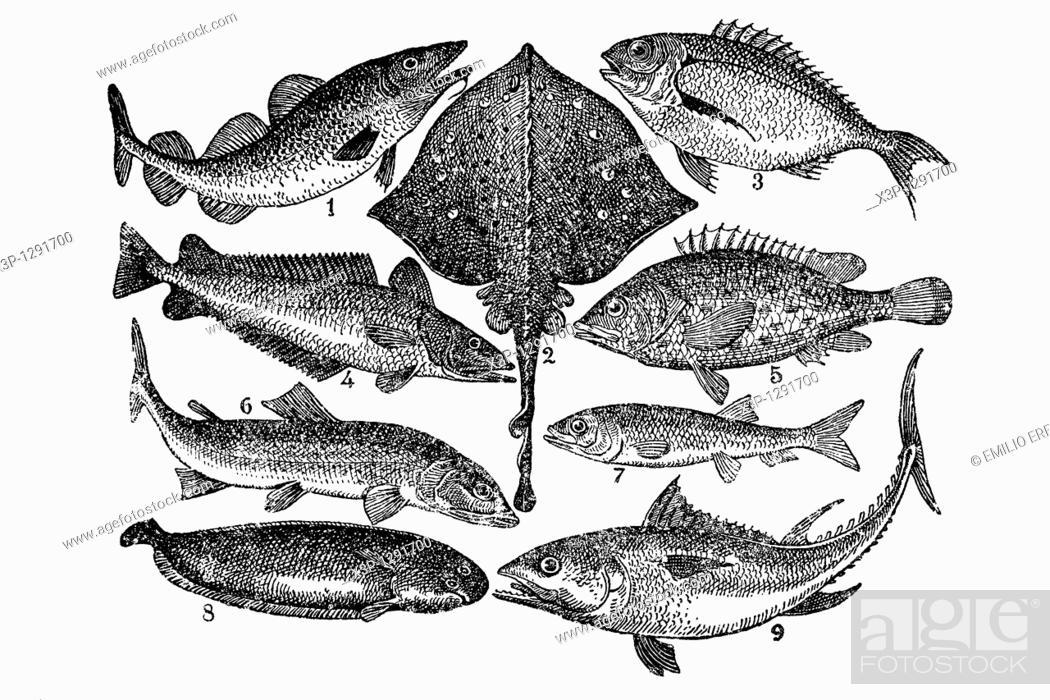 Stock Photo: Fish  Antique illustration  1900.