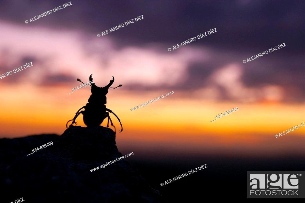 Stock Photo: Stag beetle, Lucanus cervus, male in sunset.