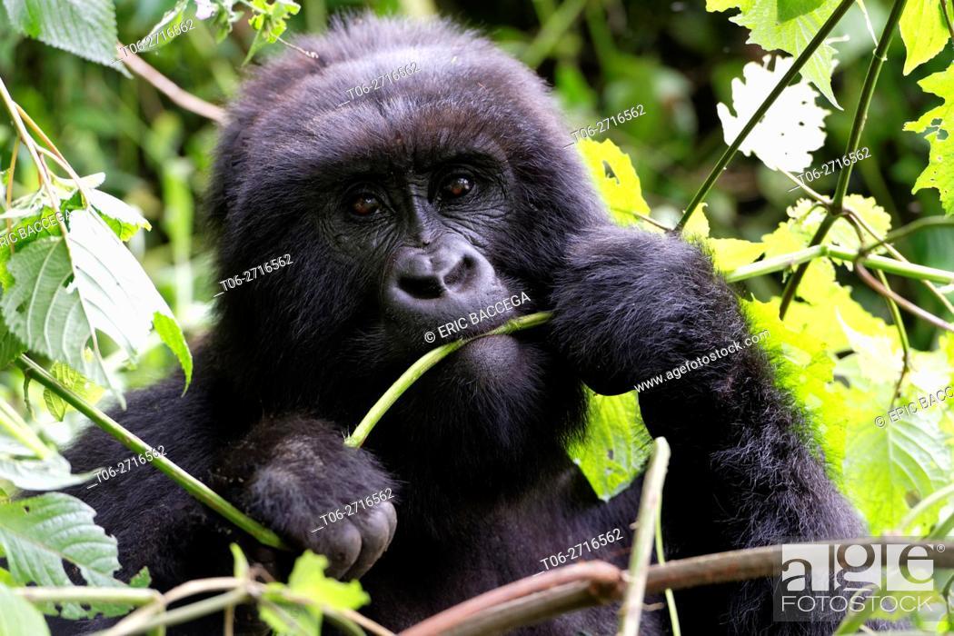 Stock Photo: Female Mountain gorilla feeding in forest (Gorilla beringei beringei) Virunga National Park, Democratic Republic of Congo, Africa.