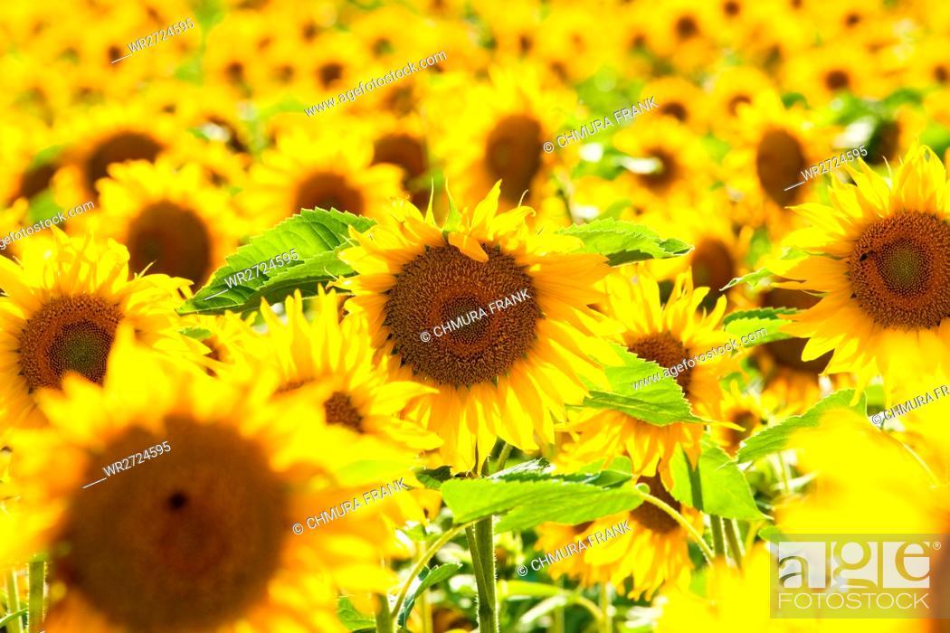 Stock Photo: Czech Republic, Southern Bohemia - Field of Sunflowers.