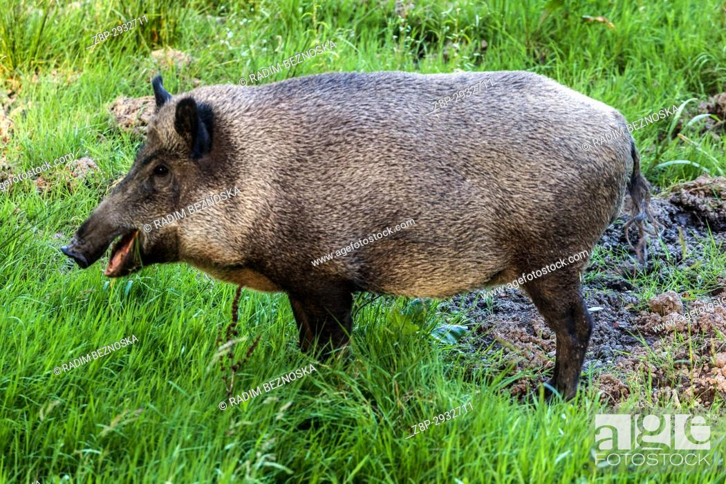 Stock Photo: Female wild boar, Sus scrofa, Czech Republic.