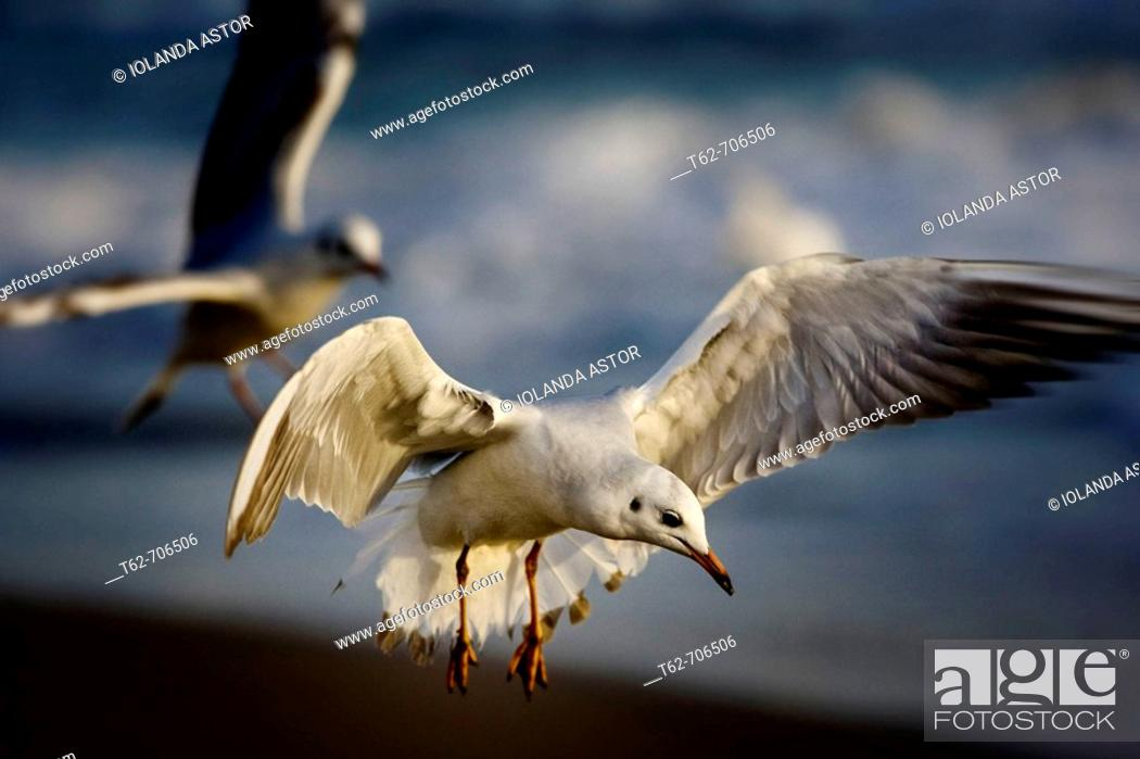 Stock Photo: Seagulls flying in winter.