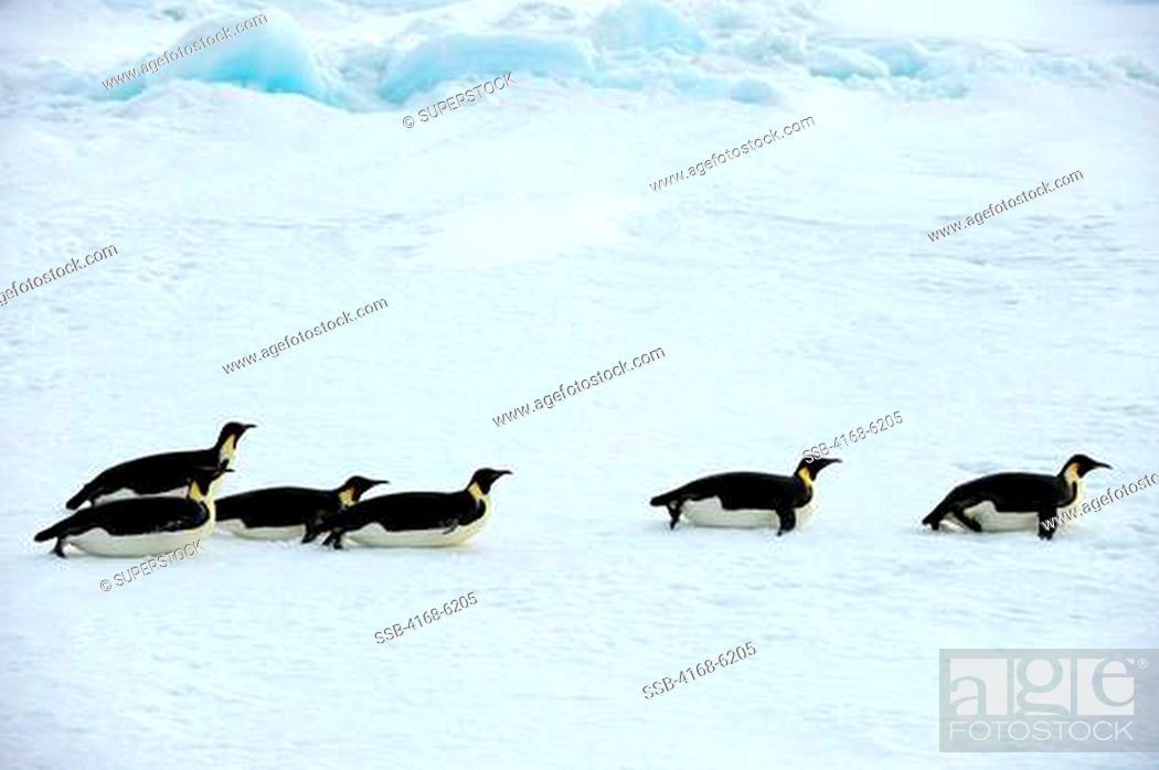 Imagen: ANTARCTICA, WEDDELL SEA, NEAR SNOW HILL ISLAND, EMPEROR PENGUINS Aptenodytes forsteri ON SEA ICE ON THE WAY TO OPEN WATER, TOBOGGANING.