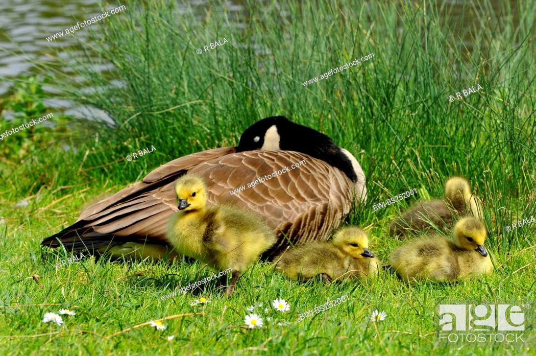 Stock Photo: Canada goose Branta canadensis, adult with chicks sunbathing, Germany.