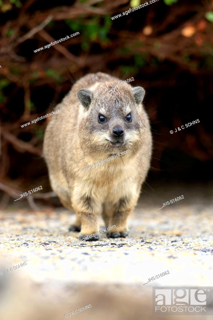 Stock Photo: Rock Dassie, (Procavia capensis), young, Betty's Bay, Western Cape, South Africa, Africa.