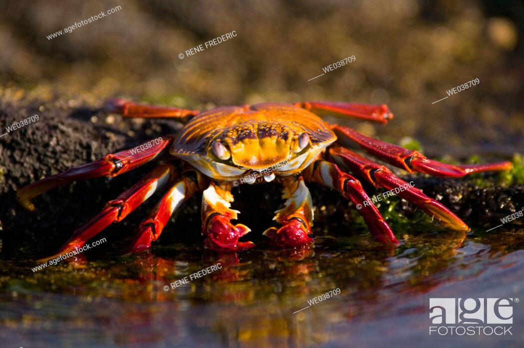 Stock Photo: Sally Lightfoot Crabs (Grapsus grapsus). Puerto Egas, Galapagos Islands National Park. Ecuador.