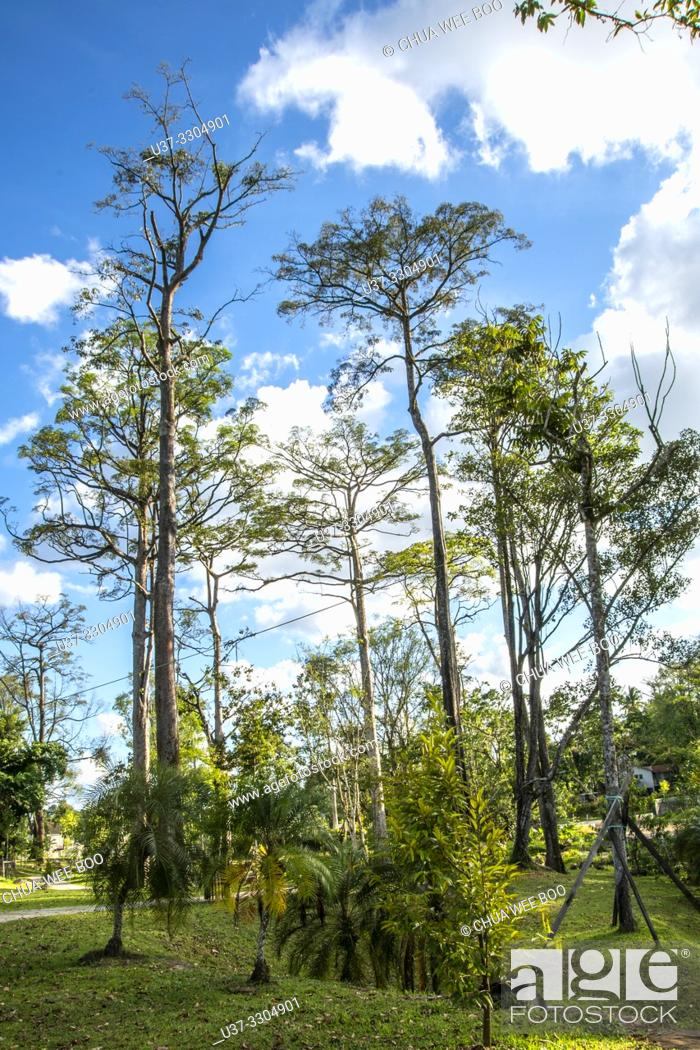 Stock Photo: Trees around Jalan Uplands, Kuching, Sarawak, Malaysia.