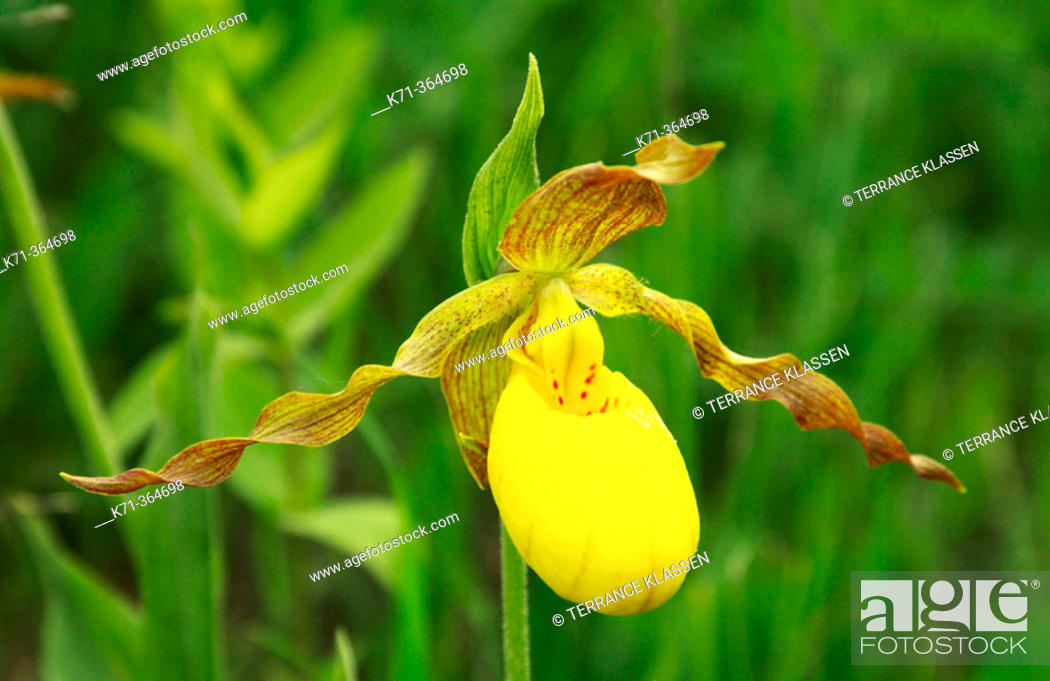Stock Photo: Yellow ladyslipper (Cypripedium parviflorum) var pubescens, in Southern Manitoba. Canada.