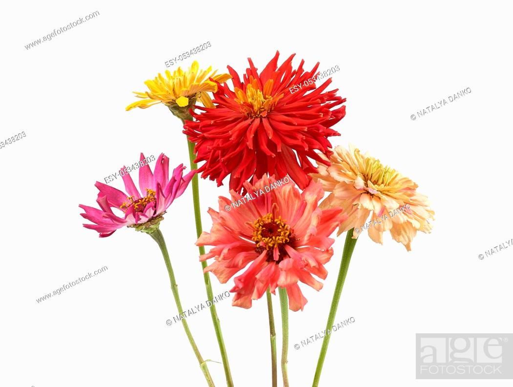 Stock Photo: bouquet of yellow, pink, red buds of blooming zinnia isolated on white background, festive backdrop.