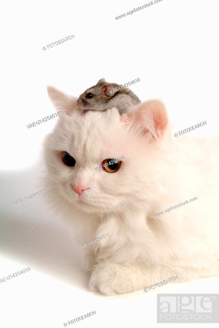 Stock Photo: feline, hamster, rodent, turkish angora, cat, domestic, bluesapphire.