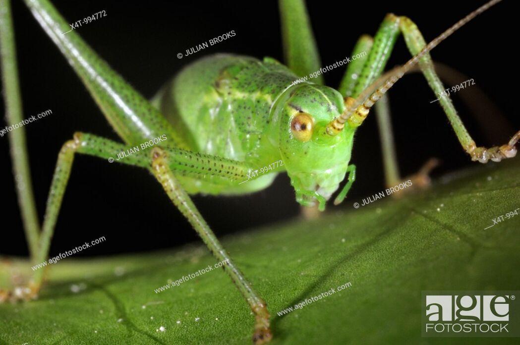 Stock Photo: Speckled bush Cricket Leptophyes puctatissima on leaf.