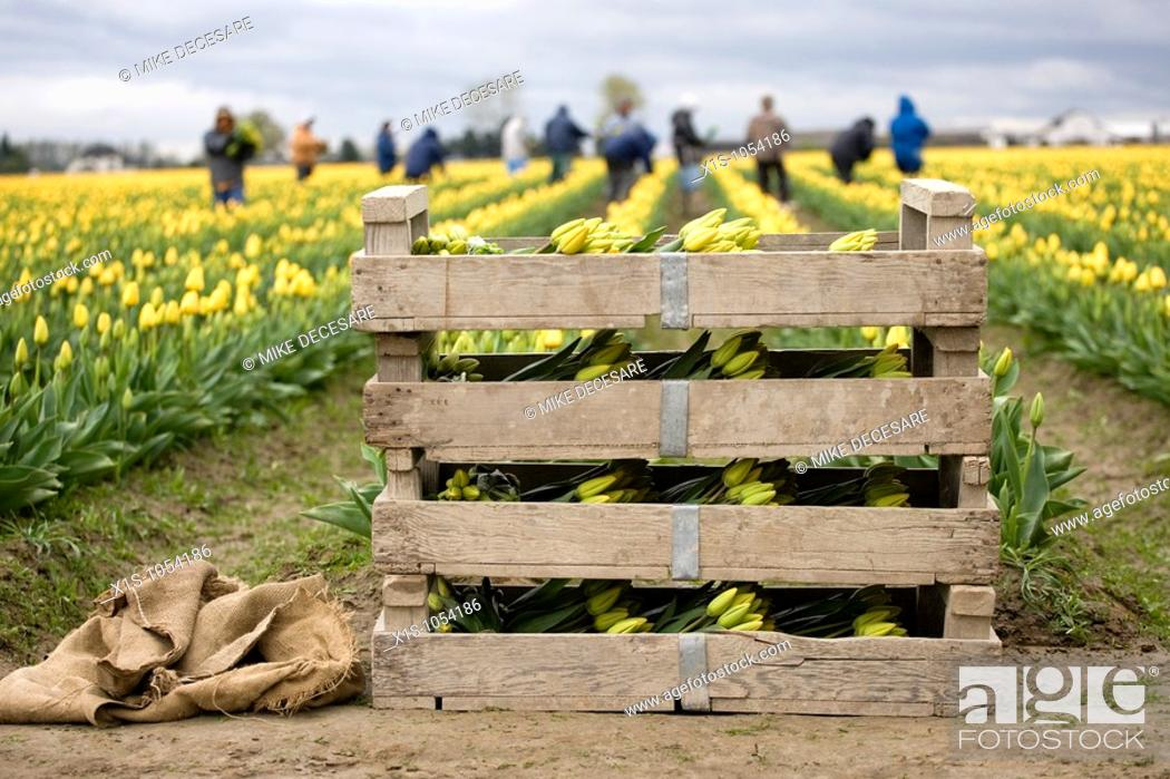 Stock Photo: Wooden crate and burlap sacks at the head of a tulip field with workers out of focus in the background.