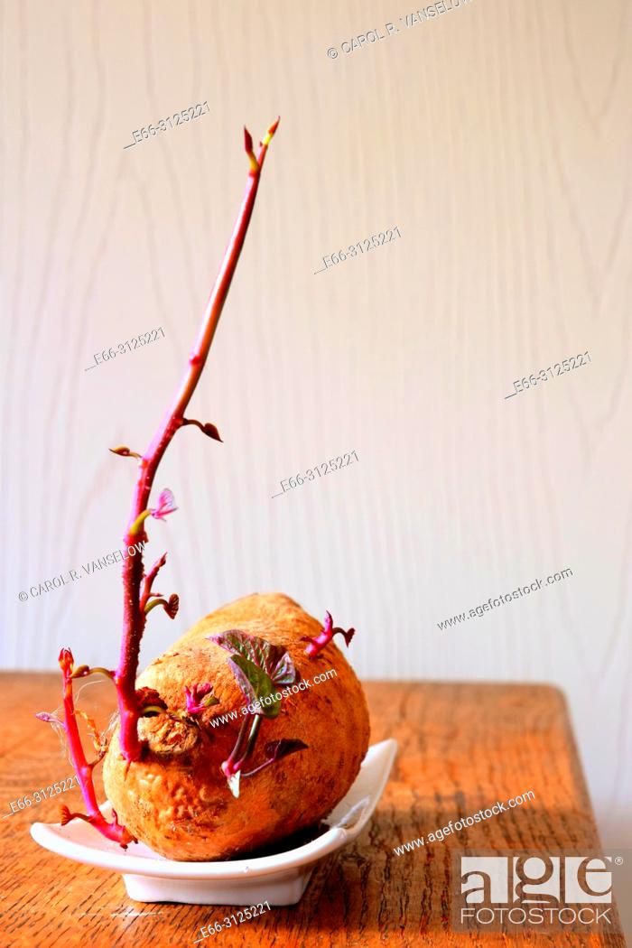Stock Photo: Sweet potato beginning to sprout. On white dish on wooden table.