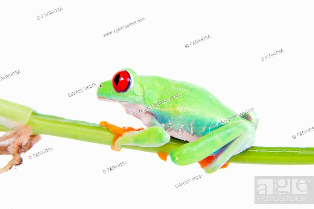 Stock Photo: red eyed tree frog isolated on white. Agalychnis callidrias a tropical amphibian from the rain forest of Costa Rica and Panama.