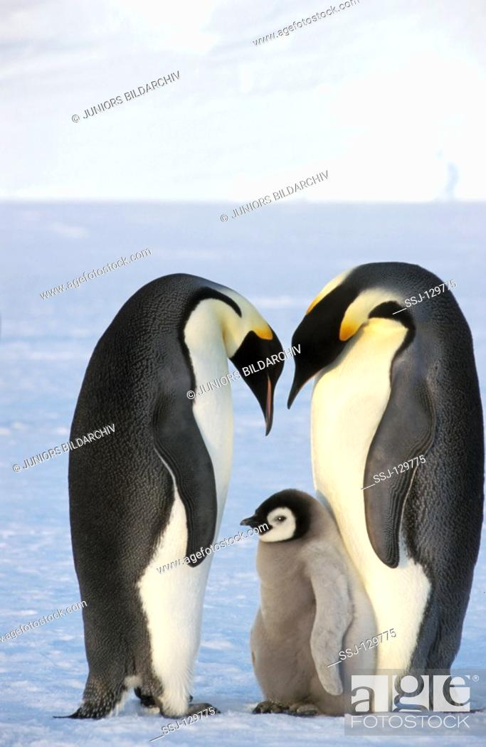 Stock Photo: two emperor penguins with cub - Aptenodytes forsteri.