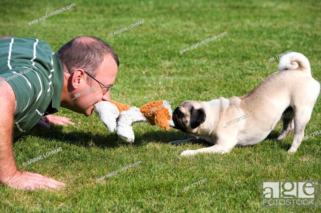 Stock Photo: A young male pug and his owner playing happily in a meadow with a plush toy.