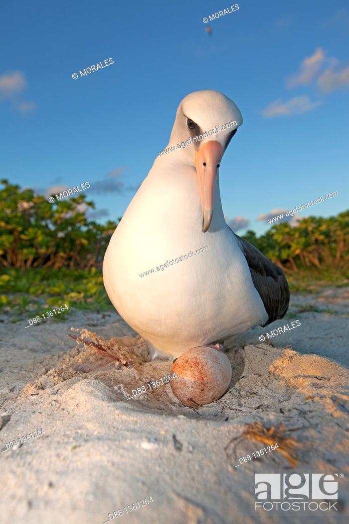 Stock Photo: Hawaï , Midway , Sand Island , Laysan Albatross ,  Phoebastria immutabilis.