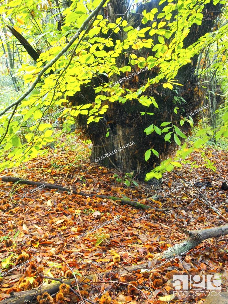 Stock Photo: Centenary chestnut tree (Castanea sativa). Erola stream site at Viladrau village countryside. Autumn at Montseny Natural Park.