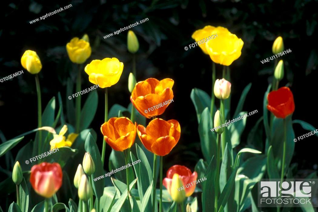 Stock Photo: blossom, Bernhard, blooms, bloom, black, abloom.